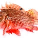 Red Scorpion Fish